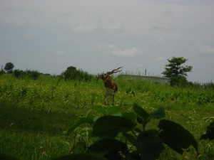 Black Buck, a kind of deer