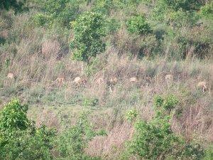 Spotted Deer, hog deer, Samber deer, Barking deer, Swamp deer,