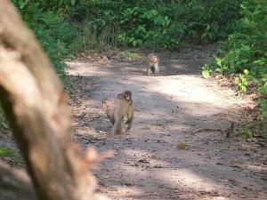 Rhesus Monkey.