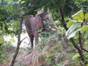 Wild Asian Elephant,