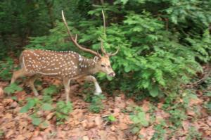 "spotted deer, called "" Chital"" in Nepal"