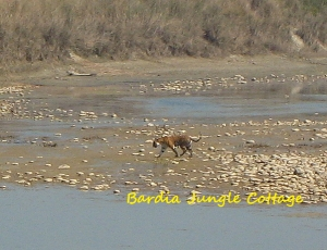 Bardia Tiger Walking Alone in dry river, in winter