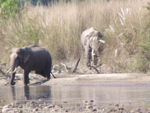 Two Male Wild elephant, crossing the river, bardia national park