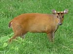 barking-deer