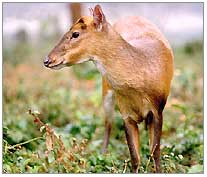 barking-deer1