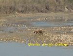 Tiger Walking alone in the branch of the Karnali river
